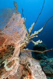 Fan coral and fish in the Red Sea. Royalty Free Stock Image