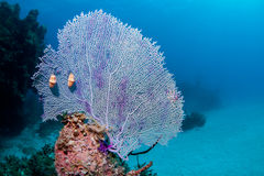 Fan Coral with Flamingo Tongue Royalty Free Stock Photo