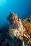 Fan coral in the Red Sea. Stock Photography