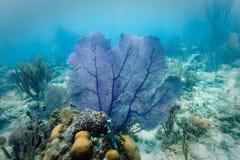 Fan de mar púrpura exhibida en colonia coralina dura Fotografía de archivo libre de regalías