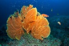Fan de mer dans Andaman du nord, Thaïlande images stock