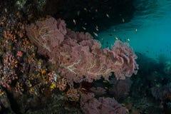 Fan de mer sur le bord de l'île Image stock