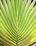 Fan del plátano Imagen de archivo