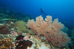 Fan di Gorgorian e dell'operatore subacqueo Fotografia Stock Libera da Diritti