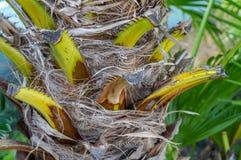 fan drzewka palmowego wzór Obraz Royalty Free