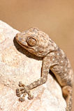 Fan-fingriger Gecko Stockbild