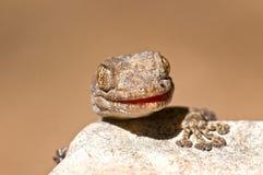 Fan-fingriger Gecko lizenzfreie stockfotografie