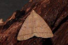 Fan foot moth. royalty free stock image