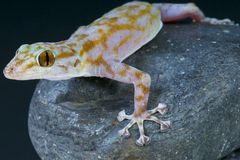 Fan footed gecko / Ptyodactylus ragazzi Stock Photos