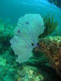 Fan-Koralle mit einem Gesicht Lizenzfreie Stockfotos