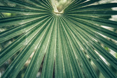 Fan leaf of a sabal palm, cabbage palmetto. Royalty Free Stock Photo