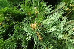Fan-like branches of Thuja occidentalis with cones. Fan like branches of Thuja occidentalis with cones Royalty Free Stock Image