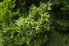 Fan-like branches of Thuja occidentalis with seed cones. Fan-like branches of Thuja occidentalis with immature seed cones Royalty Free Stock Photo