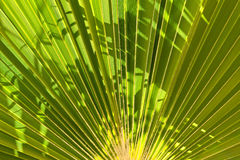Palm Tree Fan Stock Photography