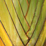 Fan like Leaves of the Traveler Palm Stock Photo