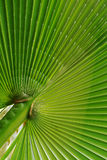 Fan-like Palm Leaf Stock Photography