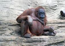 fan małpy poza Zdjęcie Stock