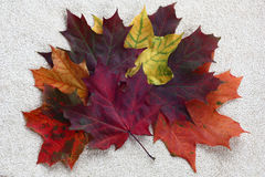 Fan from maple leaves. Stock Photography