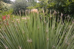 Fan notevole di erba ornamentale alta in un giardino Fotografie Stock Libere da Diritti