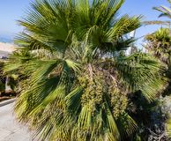 Fan Ornamental palm with fruit clusters on the streets of Los Angeles. California with a beautiful blue skyline stock photography