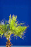 Fan Palm. Bright green fan palm against a cobalt blue wall stock photo