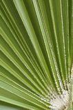 Fan palm Stock Photos