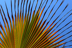 Fan Palm. Green fan palm royalty free stock photography