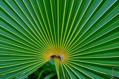 Fan Palm on Carribean isle Royalty Free Stock Photo