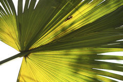 Fan Palm Frond 1 Royalty Free Stock Image