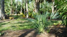Fan palm in garden. Stock Images