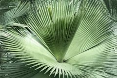 Fan palm green leaves or coconut fronds background of the tropical natural which has jungle green foliage. Texture for creative. Layout made of leaf nature royalty free stock images