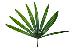 Fan palm isolated on white background Royalty Free Stock Photography