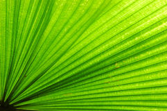 Fan Palm Leaf Stock Photo
