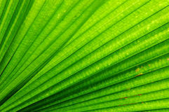 Fan Palm Leaf Stock Image