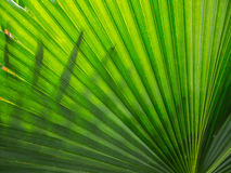 Fan Palm leaf Royalty Free Stock Image