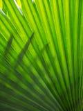 Fan Palm leaf Stock Photo