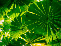 Fan palm leaves Stock Photo