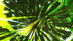 Fan palm leaves stock video