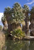Fan Palm Oasis Royalty Free Stock Photography