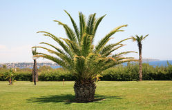 Fan palm tree Stock Photos