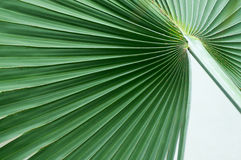 Fan Palm Tree Abstract Stock Photography