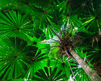 Fan Palm Tree Canopy Stock Photo