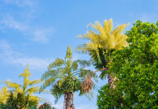 Fan palm tree on day time. Royalty Free Stock Photos