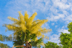 Fan palm tree on day time. Stock Photography