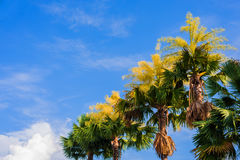 Fan palm tree on day time. Stock Images