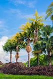 Fan palm tree on day time. Stock Image