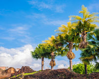Fan palm tree on day time. Royalty Free Stock Images