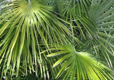 Fan Palm, Washingtonia, Fronds in Afternoon Sun. This image is a monochromatic study of the fronds of a Fan Palm. The location is a sunny winter day in royalty free stock photos