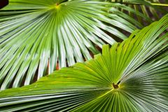 Fan Palm Windmill leaves Perspective Lines Stock Photo