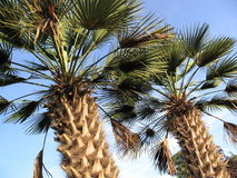 Fan Palms Royalty Free Stock Photos